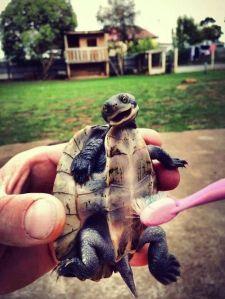 rub my belly turtle