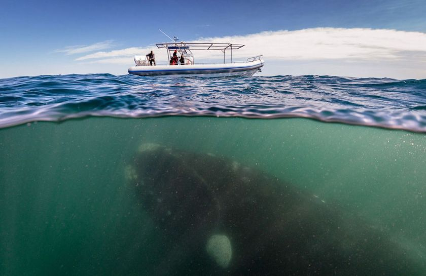 A-southern-right-whale-mother-seen-under-a-whale-watching-boat-in-Peninsula-Valdez-Argentina-MAIN